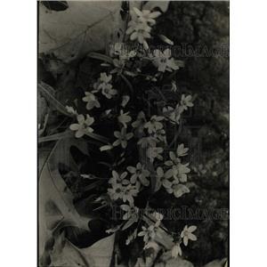 1930 Press Photo Spring beauties flowers - RRW76289