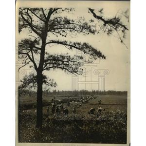 1927 Press Photo Chadsworth NJ cranberriers being harvested