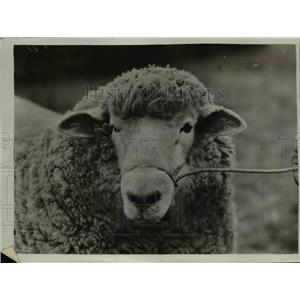 1925 Press Photo Agricultural Show at Tunbridge Wells, sheep - nee45227