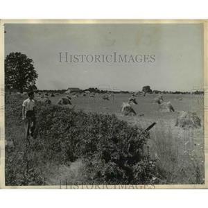 1935 Press Photo Stacks of Wheat Near London Ohio