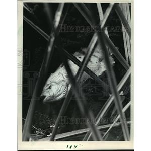 1985 Press Photo Dead fish littered the banks and waters of the Pigeon River.